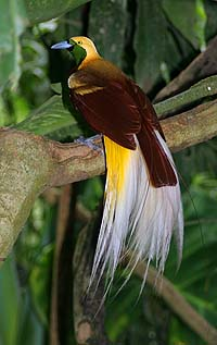 Bird-of-Paradise after which the Apus constellation was named
